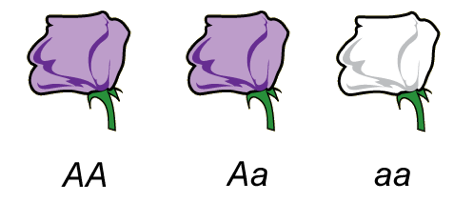 Image of dominant and recessive flower phenotypes (purple is dominant, white is recessive)